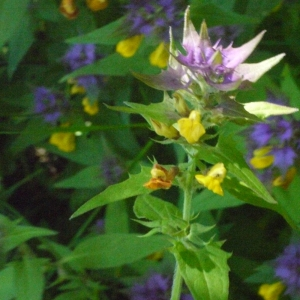 Photographie n°183763 du taxon Melampyrum nemorosum L.