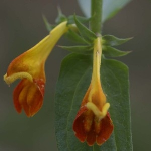 - Melampyrum nemorosum L.