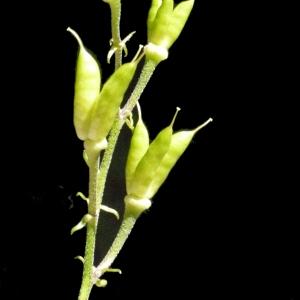 Photographie n°183787 du taxon Aconitum lycoctonum subsp. vulparia (Rchb.) Nyman [1889]