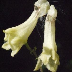 Photographie n°183788 du taxon Aconitum lycoctonum subsp. vulparia (Rchb.) Nyman [1889]