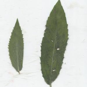 Photographie n°183813 du taxon Mentha longifolia (L.) Huds. [1762]