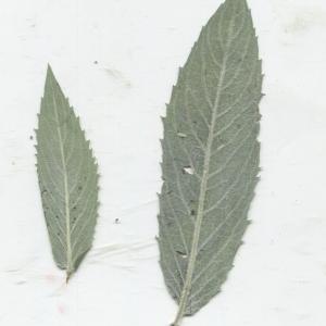 Photographie n°183814 du taxon Mentha longifolia (L.) Huds. [1762]