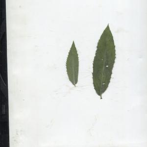 Photographie n°183815 du taxon Mentha longifolia (L.) Huds. [1762]
