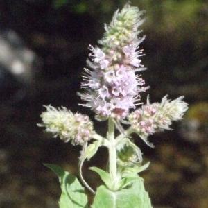 Photographie n°183822 du taxon Mentha longifolia (L.) Huds. [1762]