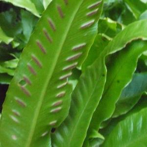 Photographie n°183837 du taxon Asplenium scolopendrium L. [1753]