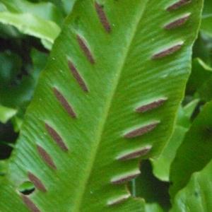 Photographie n°183838 du taxon Asplenium scolopendrium L. [1753]
