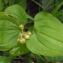 Liliane Roubaudi - Maianthemum bifolium (L.) F.W.Schmidt [1794]
