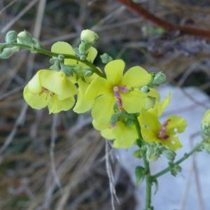 Photographie n°183968 du taxon Verbascum thapsus L.
