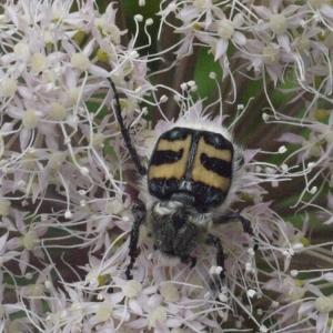 Photographie n°183983 du taxon Angelica sylvestris L. [1753]