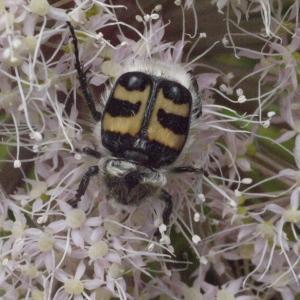 Photographie n°183984 du taxon Angelica sylvestris L. [1753]