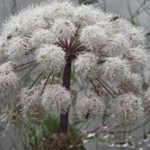 Photographie n°183986 du taxon Angelica sylvestris L. [1753]