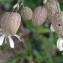 Liliane Roubaudi - Silene vulgaris (Moench) Garcke [1869]