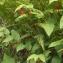 Liliane Roubaudi - Streptopus amplexifolius (L.) DC. [1805]