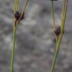 - Juncus alpinoarticulatus Chaix [1785]
