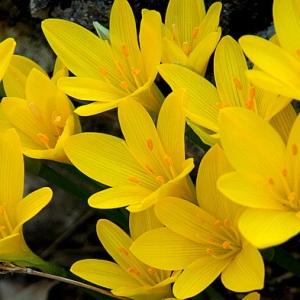 - Sternbergia sicula Tineo ex Guss.