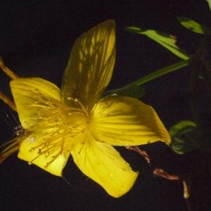 Photographie n°184087 du taxon Hypericum perforatum L.