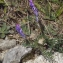 Liliane Roubaudi - Vicia cracca var. tenuifolia (Roth) P.Gaertn., B.Mey. & Scherb.