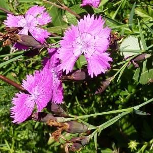 - Dianthus seguieri subsp. peudocollinus (P.Fourn.) Jauzein