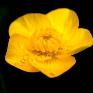 - Ranunculus L. [1753]
