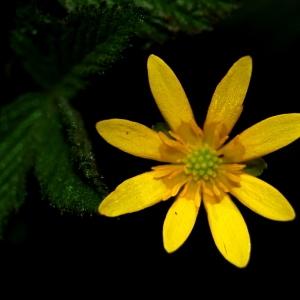 Ficaria verna subsp. fertilis (A.R.Clapham ex Laegaard) Stace (Ficaire)