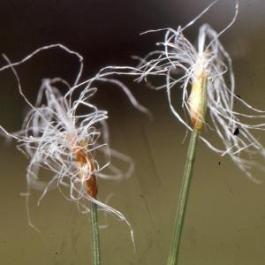 Trichophorum alpinum (L.) Pers. (Scirpe de Hudson)