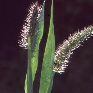 Photographie n°184207 du taxon Setaria verticillata (L.) P.Beauv. [1812]
