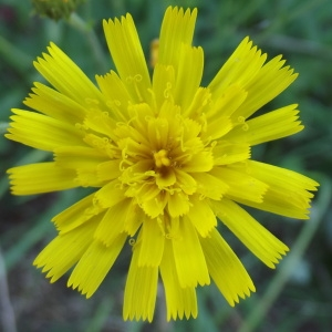 Hieracium umbellatum L. (Accipitrine)
