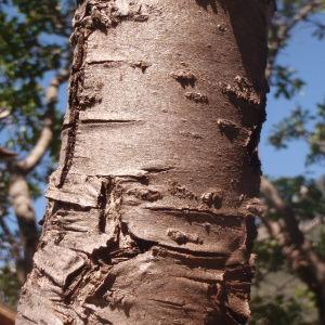 - Prunus domestica subsp. italica (Borkh.) Gams ex Hegi [1923]