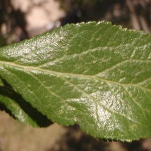 Prunus domestica n-subsp. italica (Borkh.) Gams ex Hegi (Prunier d'Italie)