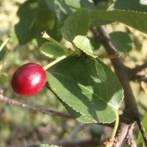 Photographie n°184327 du taxon Prunus mahaleb L.