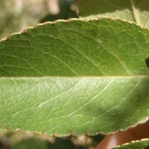 Photographie n°184328 du taxon Prunus mahaleb L.