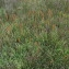 Florent Beck - Narthecium ossifragum (L.) Huds.