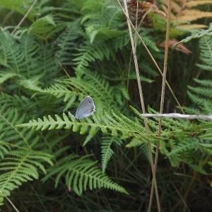 Pteridium aquilinum (L.) Kuhn (Fougère-aigle)