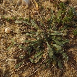 Photographie n°184452 du taxon Leontodon saxatilis subsp. saxatilis