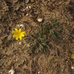 Photographie n°184453 du taxon Leontodon saxatilis subsp. saxatilis