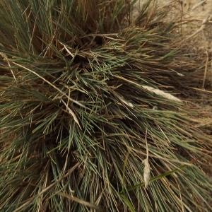 - Corynephorus canescens (L.) P.Beauv.