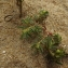 Florent Beck - Euphorbia polygonifolia L.