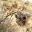Florent Beck - Helichrysum stoechas (L.) Moench [1794]