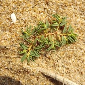 Photographie n°184543 du taxon Euphorbia polygonifolia L.