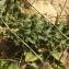 Florent Beck - Hieracium eriophorum St.-Amans [1801]