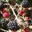 Jean-Claude Echardour - Rubus L.