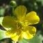 Jean-Claude Echardour - Ranunculus acris L. [1753]