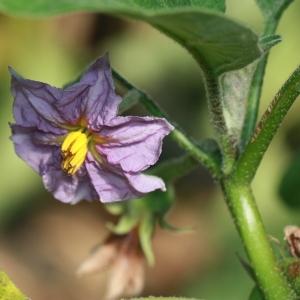 Photographie n°184788 du taxon Solanum melongena L. [1753]