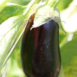Photographie n°184790 du taxon Solanum melongena L. [1753]