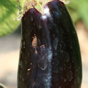 Photographie n°184791 du taxon Solanum melongena L. [1753]