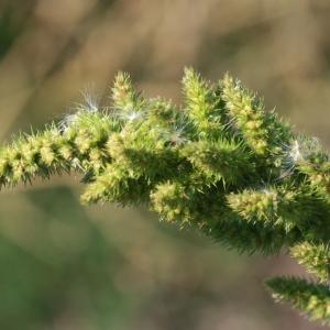 Photographie n°184943 du taxon Amaranthus hybridus L. [1753]
