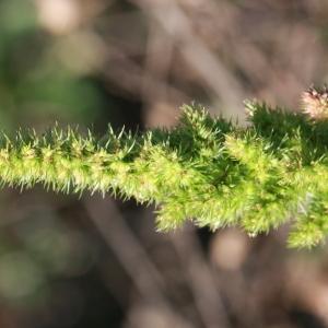 - Amaranthus hybridus L. [1753]