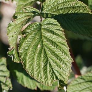 Rubus idaeus L. (Framboisier)