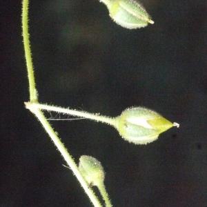 Photographie n°185075 du taxon Spergularia media (L.) C.Presl [1826]