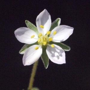 Photographie n°185078 du taxon Spergularia media (L.) C.Presl [1826]